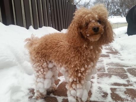 snowpoodle